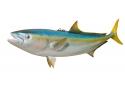 "39"" CALIFORNIA YELLOWTAIL HALF MOUNT FISH REPLICA"