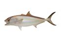 "Amberjack Fish Mount Half Mount Fish Replica 44"""