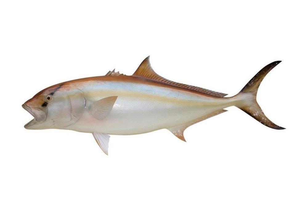 Amberjack Fish Mount Half Mount Fish Fiberglass Replica 44 Quot